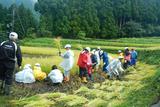 稲刈り体験②