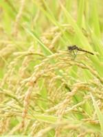 トンボも飛び交う黄金色の田んぼ