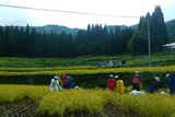 稲刈り体験①