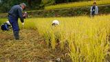 稲刈りーカマで刈る
