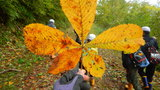 大きなとちの木の葉