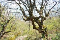 おおとちの木